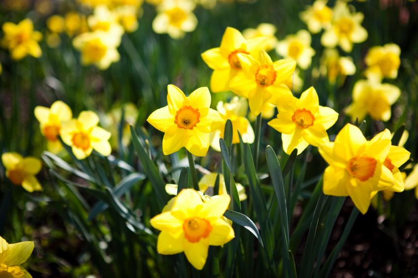 Une Jonquille pour Curie : faites fleurir l'espoir contre le cancer !